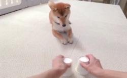 きゃわわ~(ᗒᗨᗕ)柴犬がゴロンッ! おやつ当てゲームの最中に起きた可愛い出来事