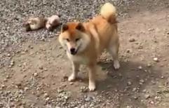 「嬉しすぎて!」とんでもないジャンプ力を発揮する柴犬が話題に