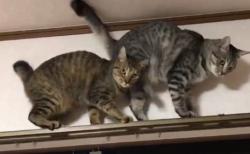 カーテンレール上の猫の攻防が可愛すぎるとネットで話題