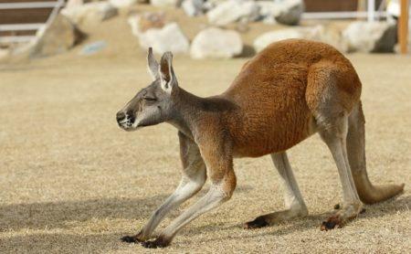 【西濃運輸】動物園にいるカンガルーの飼育に「正しいスポンサー」が付く。素晴らしい!