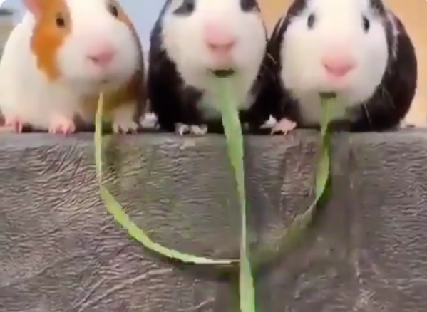【ハムハムハムハム】並んで草を食べる3匹・・最後まさかの展開で見た人みんな笑顔に