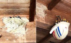お父さんのヘルメット、巣が崩壊したつばめ一家を救う!