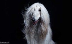 「アフガンハウンド」という犬について調べてたら…貴公子系バンドのボーカルみたいな写真がザックザク!!