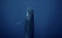 【貴重映像】インド洋で撮影されたクジラが「立ち寝」する様子