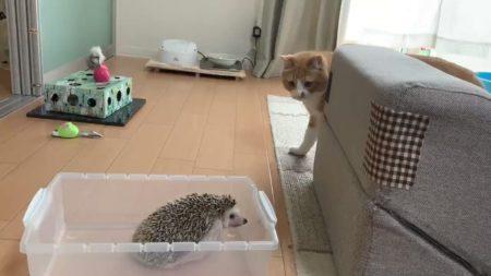【癒し】猫とハリネズミの共同生活にほっこり