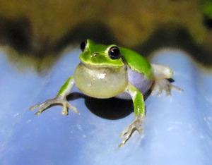 【カエル】お風呂に入ってるのかと思ったら、涼んでいるのね。暑いから仕方ないね!