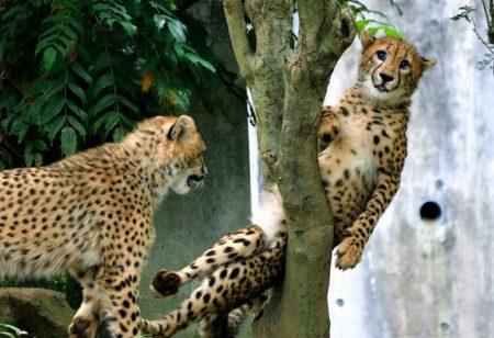 「どうやったら抜け出せるんだ~!」木の又に挟まれたヒョウの表情が可愛いすぎるとネットで話題に
