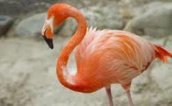 【色白】フラミンゴの赤ちゃん「片足立ち」の練習中。頑張れ〜!