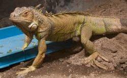 【BBC】蛇の大群から逃げ回るイグアナの「映像」がスリル満点!!