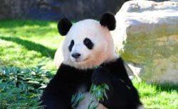 パンダがどうやって「笹」を食べるか見たことありますか?器用すぎるでしょ!