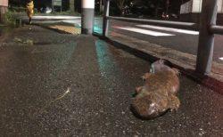 """【え!?】歩道に出現した""""オオサンショウウオ""""が話題に!"""