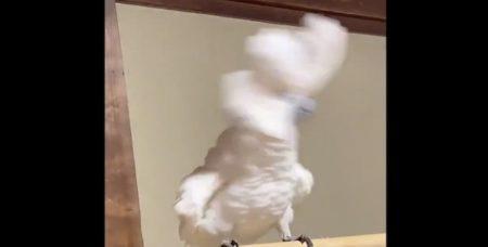 ハーゲンダッツの『フタ』に威嚇するタイハクオウムが可愛い!