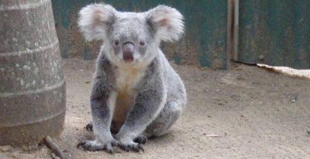 コアラの赤ちゃん!初めて見た!かわいすぎるー♡