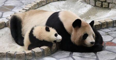 【!!!】子パンダ突然のくしゃみに驚く母パンダ。ネットで大反響