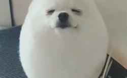 【動画】この犬、かわいすぎる!アザラシにしか見えない♡
