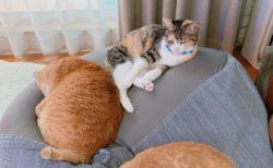 【話題】人をダメにするソファが猫をダメにしてるんだが笑
