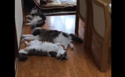 【にゃ~ん】「なんて素早いんだ!」猫ちゃん『ごはん』の一声に鬼反応!!