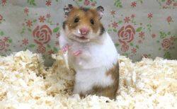【頑張れ】全くご飯がとれない「ハムスター」をご覧ください。可愛すぎる!