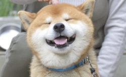 【子犬】まだ小さい柴犬が「ボール」を追いかける姿にやられた!
