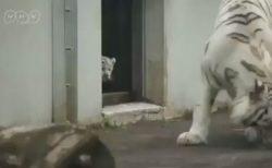 【動画】後ろから親を驚かせる白い虎の子供が可愛すぎる!