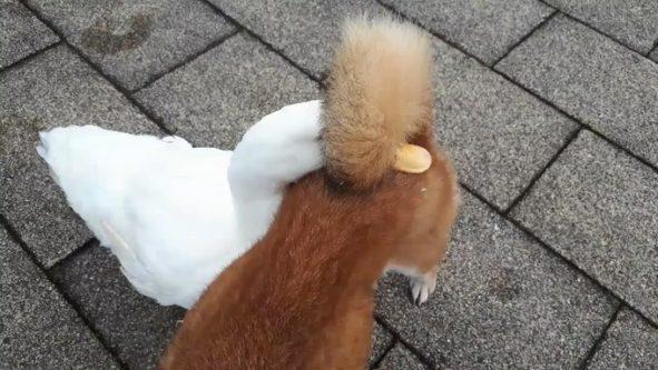 【優しい世界】柴犬のくるりんしっぽにくちばしを差し込むアヒルに癒される