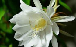 【動画】あなたは「月下美人」が咲いているところを見たことがありますか?