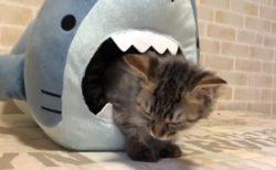 【動画】サメに襲われる危機的状況のなか、睡魔と格闘する子猫ちゃん!!可愛すぎる♡