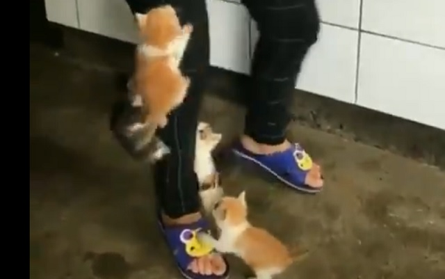 ミルクが待ちきれない子ネコ集団!脚を必死でよじ登る!!!