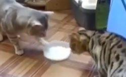 2匹の猫が1つのミルクを奪い合い・・が、意外な展開に!何度見ても笑ってしまう♡