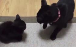 【ちょこん】恐ろしすぎる「猫パンチ」をご覧ください。黒猫飼いたくなった?