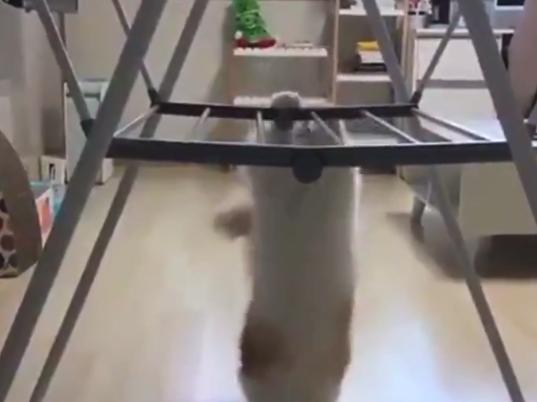 【デブ】体が重すぎて登れない猫。運動神経良かったんじゃないの!