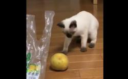 【どうした】何故か「梨」を怖がる猫が面白い。おそるおそる〜って感じ!