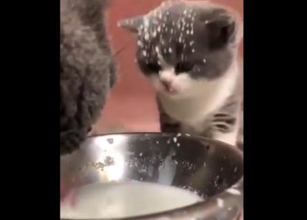 母猫がおいしそうにミルクをペロペロ。その横で飛沫を浴びる子猫。