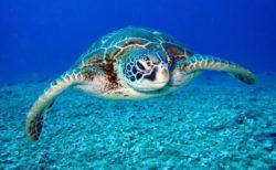 【亀は万年】91歳の「ウミガメ」が凄い。体中に苔まで生えちゃってるし!