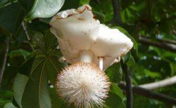 【画像】バオバブの花と実を見たことある? これ本当に現実なのかよ!