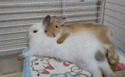 【もふもふてんこ盛り】ウサギさんがウサギさんを抱き枕にしてしまう事案発生