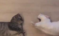 """【双子】猫だって """"あくび"""" はうつるんです!それにしても豪快だ。"""