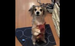 【ダックス】犬「あの、、一緒に行きたいんですけど!?」これは連れて行くわ!