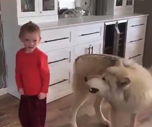 """【オオカミ】遠吠えの """"練習"""" をするハスキー犬が可愛い。上手になってね!"""