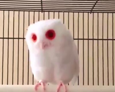 """【アルビノ】見た目が完全に """"わたあめ"""" なフクロウが可愛すぎる。ふっわふわ!"""