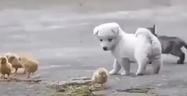 【もふもふだらけ】ひよこ集団と楽しそうに遊ぶ子犬が可愛すぎるー!!!!
