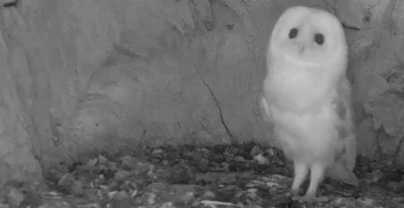 【動画】子フクロウ、巣のなかで初めてカミナリの音を聞いたときの様子「可哀想だけど可愛い!」