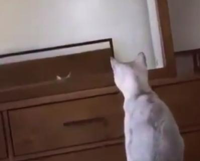 """【可愛い】鏡に写る """"自分の耳"""" が気になって仕方ない猫ちゃん。なんと健気な!"""