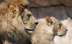 【ネコ科】イケメンに甘えまくるメロメロになったライオンがかわいすぎる!!