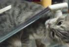 【驚愕】クーラーに当たっている猫の変なポーズが気になったので検証してみたら・・全身全霊をかけて体を冷やしてることが判明