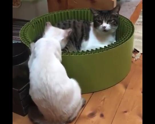 【最強】猫の必殺技「猫パンチ」が強すぎる。これは勝てないですわ!