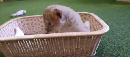 【逃げません】ライオンが脱走しました。皆さん逃げてください!