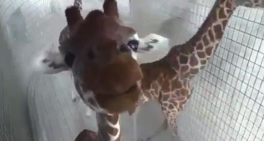 """【動物園】決して """"ファンサービス"""" を忘れないキリンがイケメンすぎる!"""