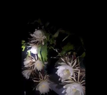 """【一年に一度】月下美人が咲く """"瞬間"""" を捉えた映像がすごい。神秘的!"""