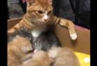"""【授乳】お乳のあげ方が """"格好よすぎる"""" 母猫が発見される。これは男前だわ!"""